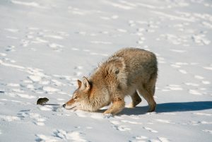Coyote Playing With Captured Vole