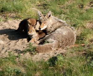 coyote-mom-pups-yellowstone-1024x833